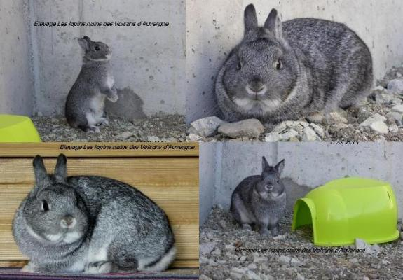 LAPINE NAINE CHINCHILLA