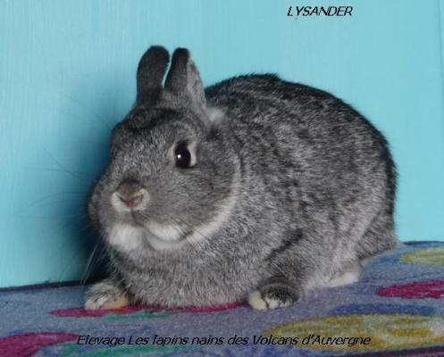 LAPIN NAIN CHINCHILLA
